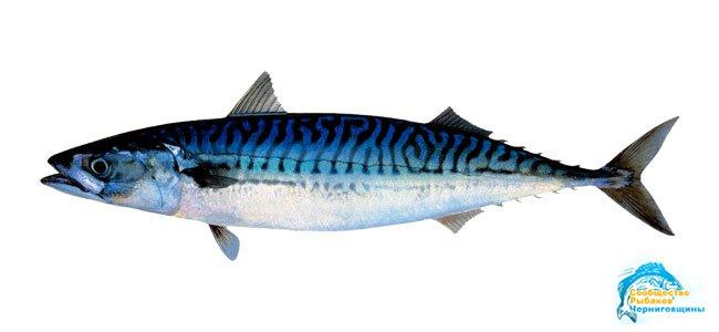 Скумбрия (Макрель) » Сообщество рыбаков Чернигова - Все о рыбалке