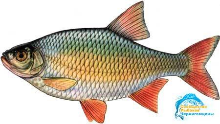 Рыба красное перо