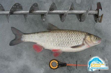 Рыбалка зимой. Как ловить голавля?