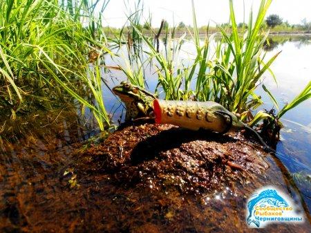 Как поймать щуку в зарослях водорослей. Силиконовые лягушки