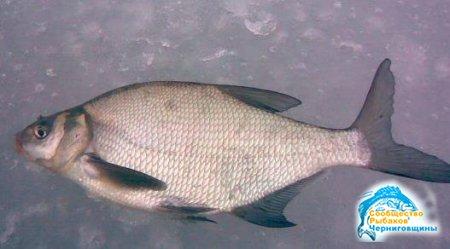 Зимняя рыбалка леща и подлещика
